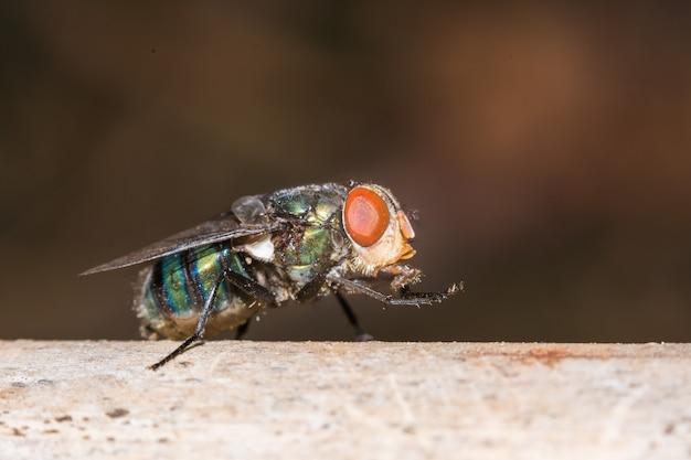 Macro della mosca del primo piano.