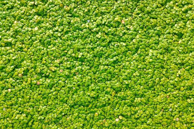 Macro di molte foglie rotonde verdi della pianta acquatica, fondo, crescenti sull'acqua di un flusso.