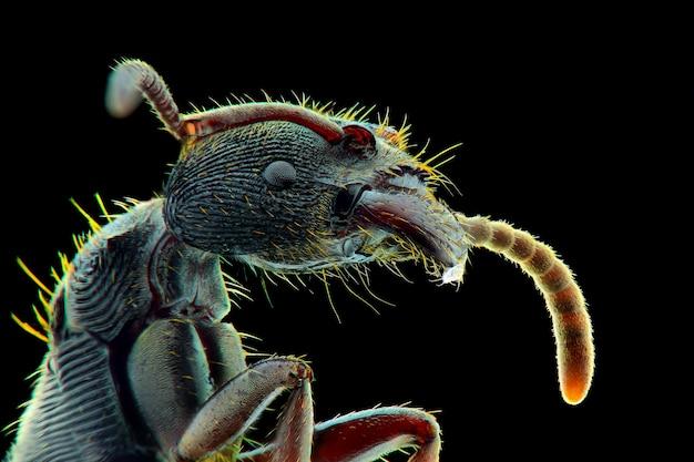 Macro faccia formica nera