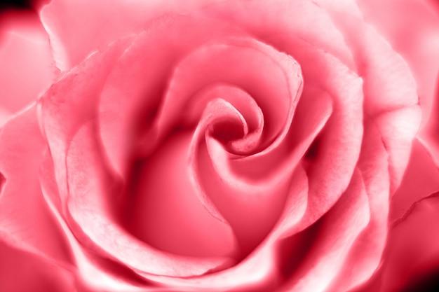 Macro fondo dell'immagine della rosa del fiore di rosa