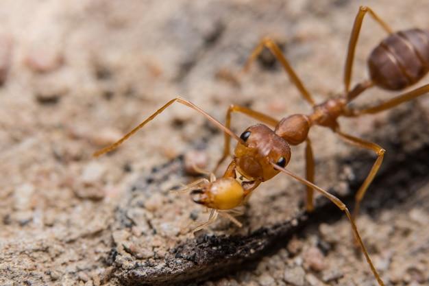 Macro formiche rosse in cerca di cibo