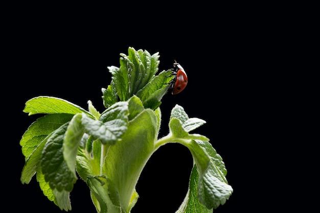 Macro foto della coccinella che si siede sulle foglie fresche verdi su fondo scuro. coccinella concetto di flora e fauna con spazio di copia. concetto di primavera