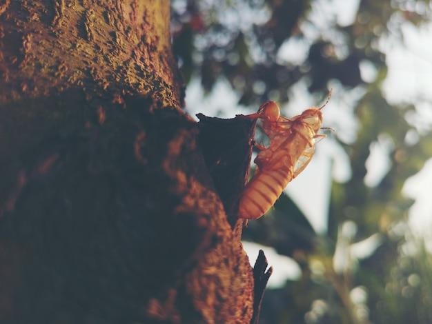 Macro muta della cicala di bella scena della natura. rappresentazione degli occhi e del dettaglio dell'ala. cada nell'habitat naturale della fauna selvatica