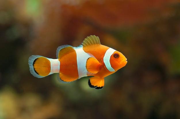 Macro ravvicinata di pesce pagliaccio. pesce marino