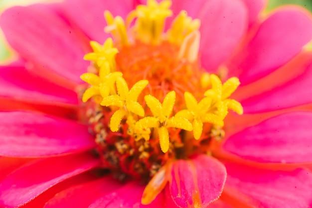 Macro rosa di tsinii del fiore, primo piano. sfondo fiore