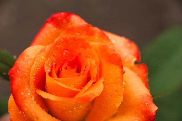 Macro rose e luogo per il testo. festa della mamma fiori e copia spazio.