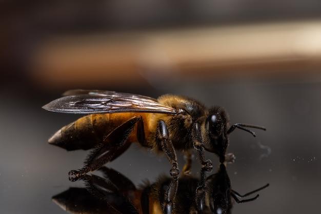 Macro sfondo nero ape