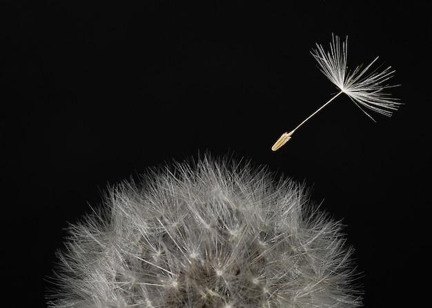 Macro testa di tarassaco e semi volanti su sfondo nero.
