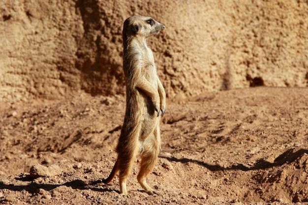 Madagascar suricata su un paesaggio argilloso