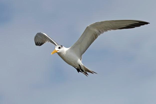 Maggior sterna crestata thalasseus bergii bellissimi uccelli che volano sul cielo