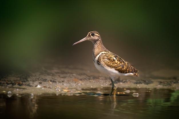 Maggior uccello dipinto in cerca di cibo nella palude