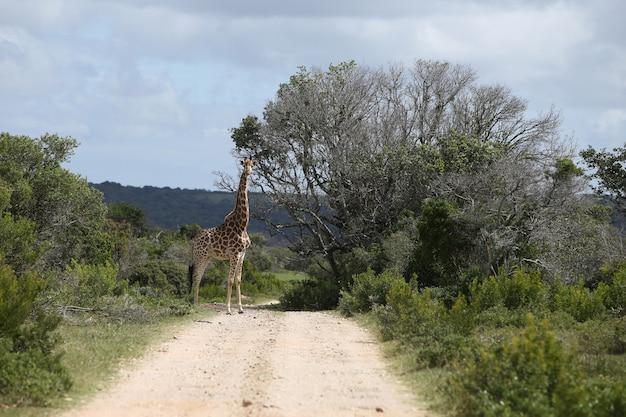 Magnifica giraffa al pascolo su un grande albero su un sentiero di ghiaia