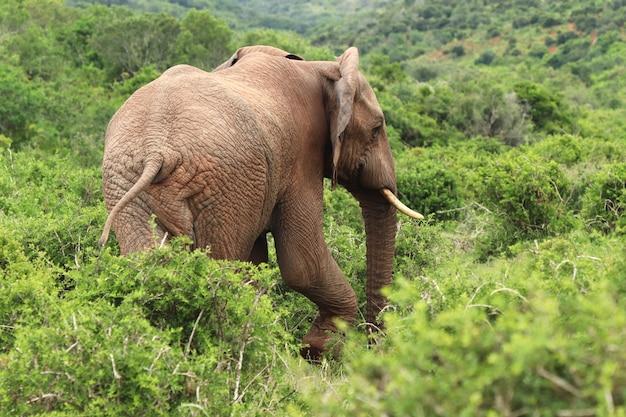 Magnifico elefante che cammina tra i cespugli e le piante catturate da dietro