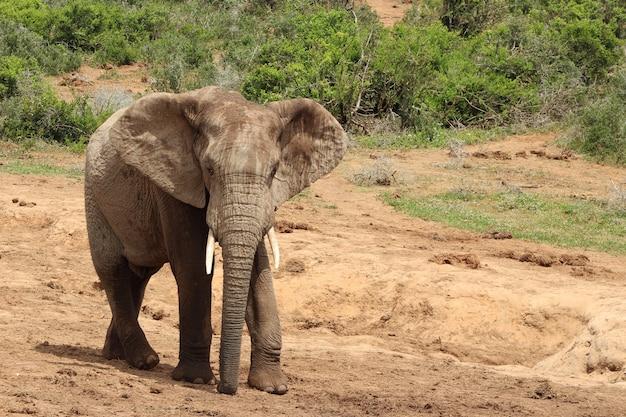 Magnifico elefante fangoso che cammina vicino ai cespugli e alle piante della giungla