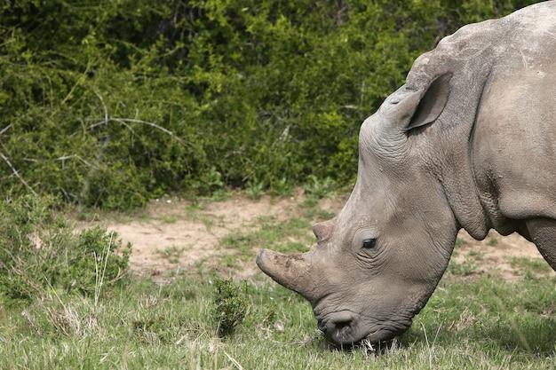 Magnifico rinoceronte al pascolo sui campi ricoperti di erba nella foresta