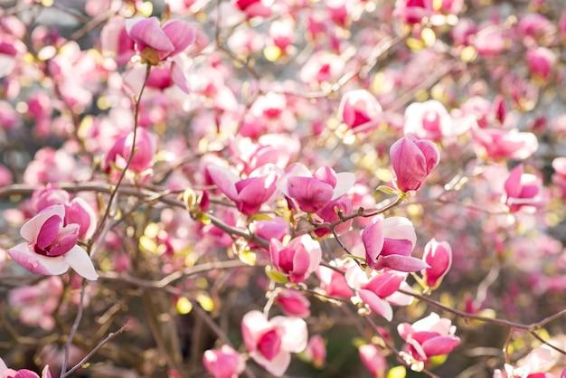Magnolia rosa di fioritura sulla natura. fiori rosa della magnolia nell'alba