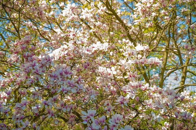Magnolia sbocciante in autunno