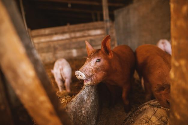 Maiale giocando in un porcile