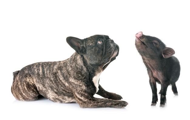 Maiale vietnamita e bulldog francese