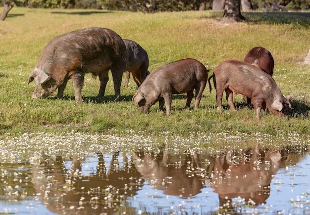 Maiali iberici al pascolo in campagna