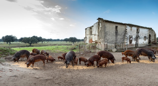 Maiali iberici al pascolo in una fattoria