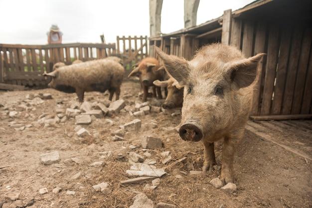 Maiali nel porcile di una fattoria