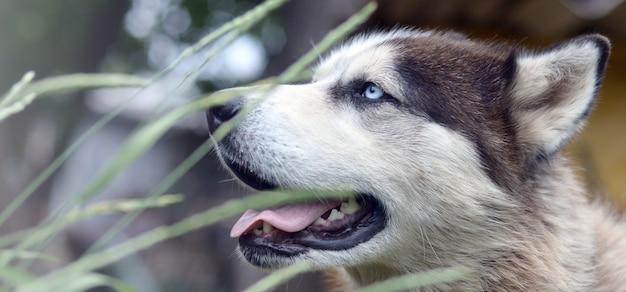 Malamute artico con la fine del ritratto della museruola degli occhi azzurri su attraverso i gambi dell'erba verde con il fuoco selettivo