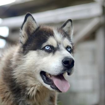 Malamute artico con la fine del ritratto della museruola degli occhi azzurri su. questo è un tipo nativo di cane abbastanza grande