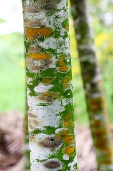 Malattie delle piante fungine sulla corteccia degli alberi causando la crescita lenta dell'albero