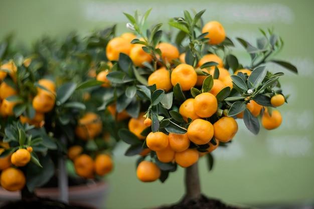 Mandarino decorativo coperto di frutti arancio