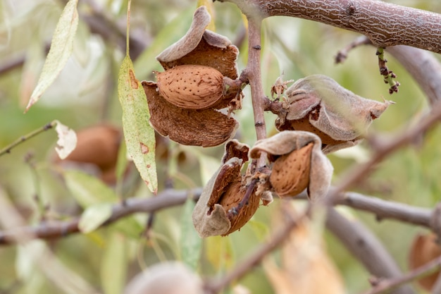 Mandorle su un albero in campagna