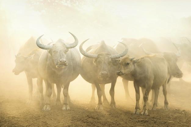 Mandria di bufali in fattoria