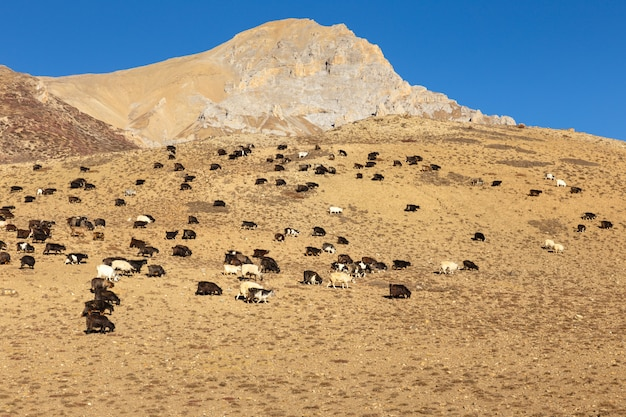 Mandria di capre al pascolo in himalaya.