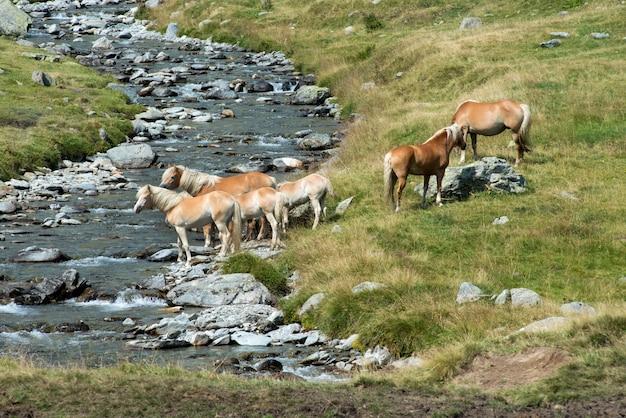 Mandria di cavalli selvaggi su una riva del fiume