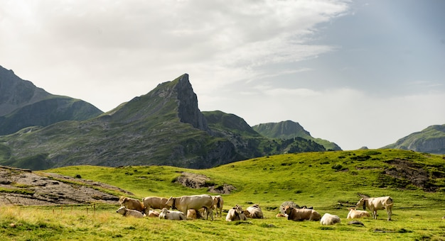 Mandria di mucche nei pascoli alpini