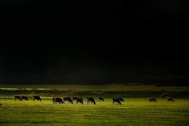 Mandria di mucche nel campo sul pendio della montagna. bellissimo paesaggio con raggio di luce solare