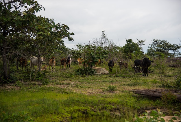 Mandria di mucche nella foresta