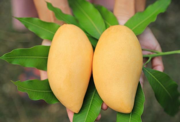 Manghi gialli maturi per il cibo succoso a casa