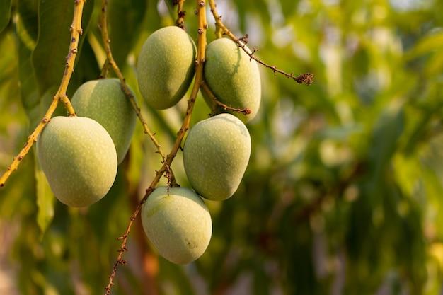 Manghi verdi selvaggi crudi che appendono sul ramo, primo piano