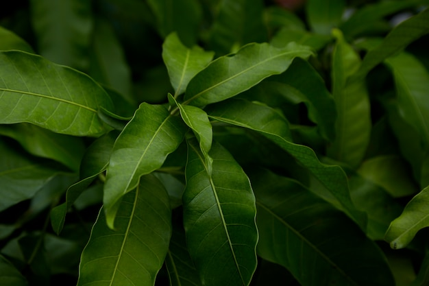 Mango fresco delle foglie verdi