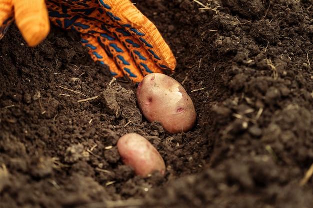 Mani che raccolgono patate organiche fresche da suolo