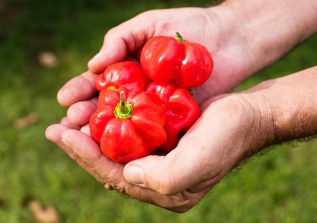 Mani che tengono i prodotti biologici del habanero dalla fattoria