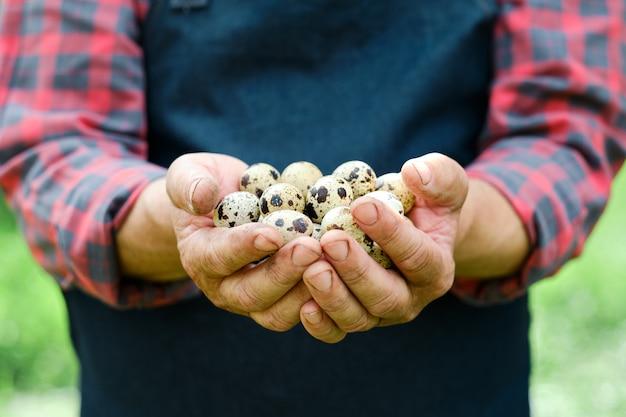 Mani che tengono le uova di quaglie organiche fresche