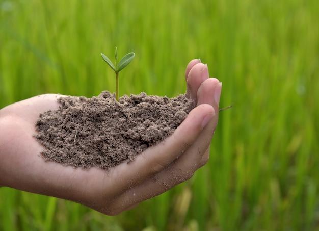 Mani che tengono piccola pianta giovane, giovane albero su sfondo verde di riso