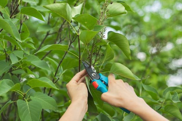 Mani con le cesoie che tagliano i fiori appassiti sul cespuglio lilla