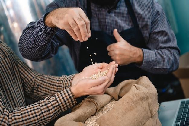 Mani dei fabbricanti di birra che tengono i chicchi d'orzo eccellenti.