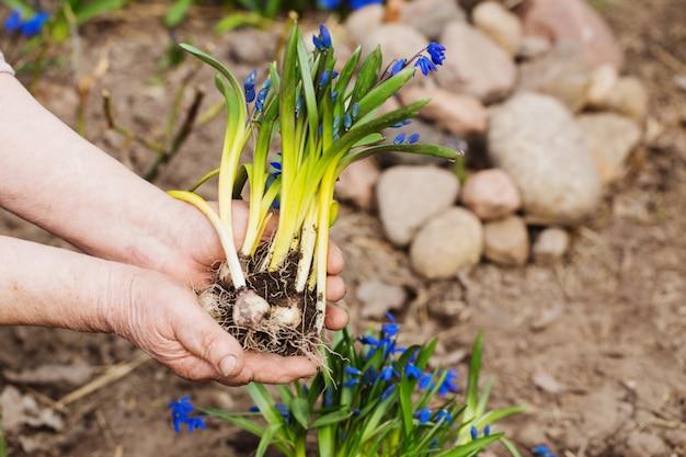 Mani del giardiniere che piantano i fiori al giardino