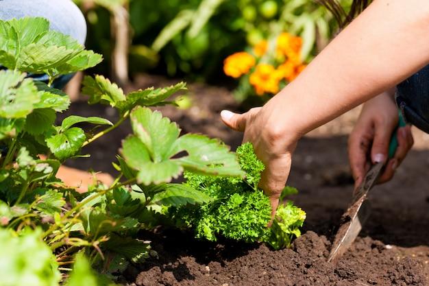 Mani del giardiniere che piantano prezzemolo