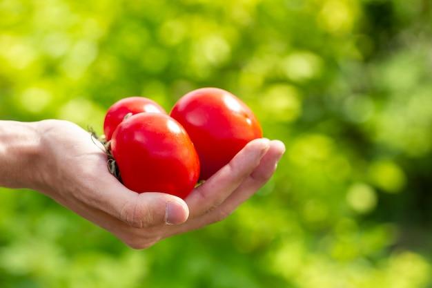 Mani del primo piano che tengono i bio- pomodori