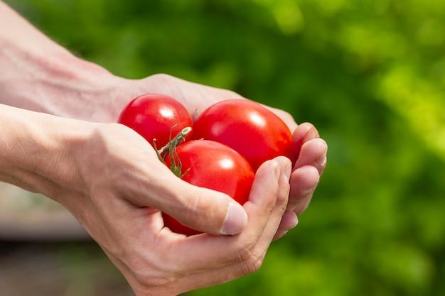 Mani del primo piano che tengono i pomodori ecologici